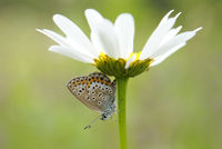 A close-up of the butterfly (plebejus argus) on white camomile flower