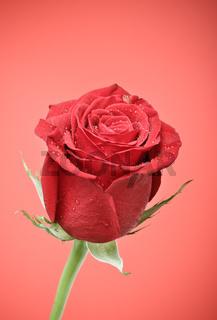 Red Rose Bud