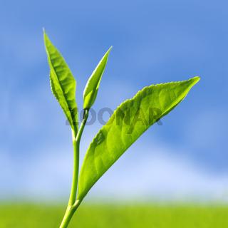 Tea leaves.