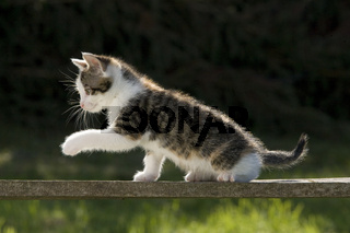 Katze/Kaetzchen spielt auf Holzbrett im Gegenlicht, Cat/kitten play on wooden board in back light
