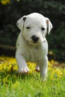 Dalmatian puppy, three weeks old, in a garden