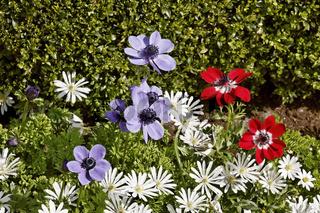 Anemone coronaria 'De Caen', Garten-Anemone