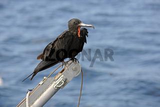 Prachtfregattvogel (Fregata magnificens) sitzt auf Bootskran , I