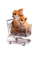 Two dogs in the shopping cart