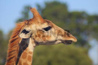 Giraffe - Portrait - Side View