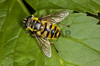 Myathropa florea, Totenkopf-Schwebfliege