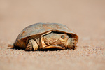 Helmeted terrapin