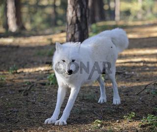 Polarwolf, Weißwolf, Weißer Wolf (Canis lupus arctos), Deutschla