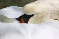 The sleeping Swan
