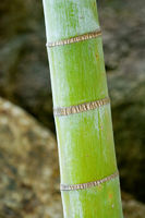 Close up of bamboo stem