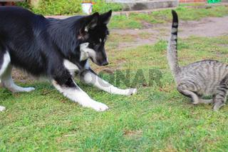 Husky Labradormischling jagt die Katze
