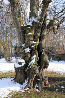 Tilia cordata, Winterlinde, alter Stamm