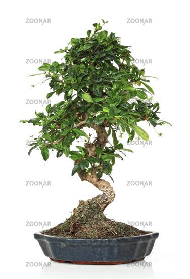 classic bonsai