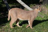 Caracal, African Lynx, South Africa