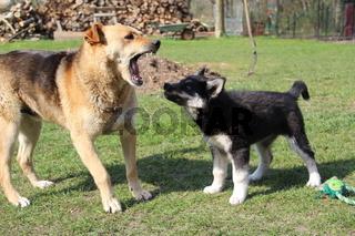 Hunde beim Toben
