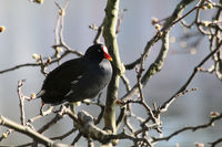 Eurasian Common Moorhen