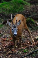 Roe-buck