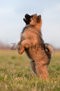 Eurasier Welpe macht Männchen