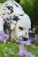 Dalmatian puppy five weeks old smells at flowers