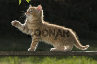 Katze/Kaetzchen spielt auf Holzbrett im Gegenlicht