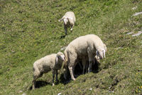 sheep on a mountain meadow