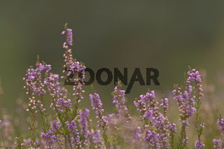 Besenheide oder Heidekraut, Calluna vulgaris, heather