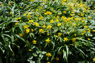 Anemone ranunculoides, Hahnenfussartige Anemone, Yellow wood anemone