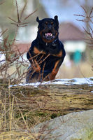 Rottweiler jumping a log