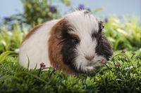 tricolor guinea pig baby