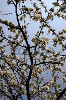 Prunus avium, Kirsche, Sweet Cherry