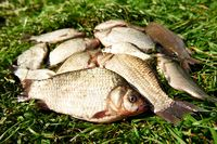 fresh river fish on grass