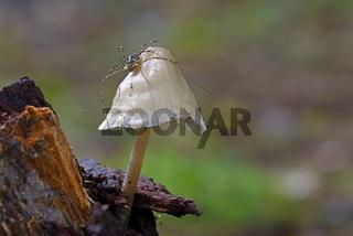 Spinne, Weberknecht (Opiliones spec.) sitze auf einem Pilz, Helm