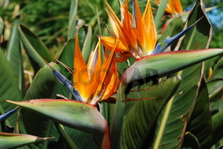 beautiful strelitzia flowers