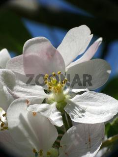 Malus domestica, Apfel