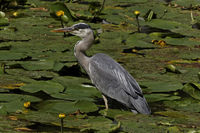 Ardea cinerea, Grey heron, Gray heron