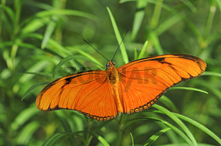 Tropischer Schmetterling Julia Heliconian