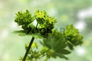 Alchemilla mollis, Weicher Frauenmantel, Lady's mantle