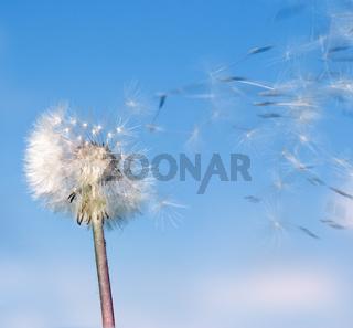Dandelion wind
