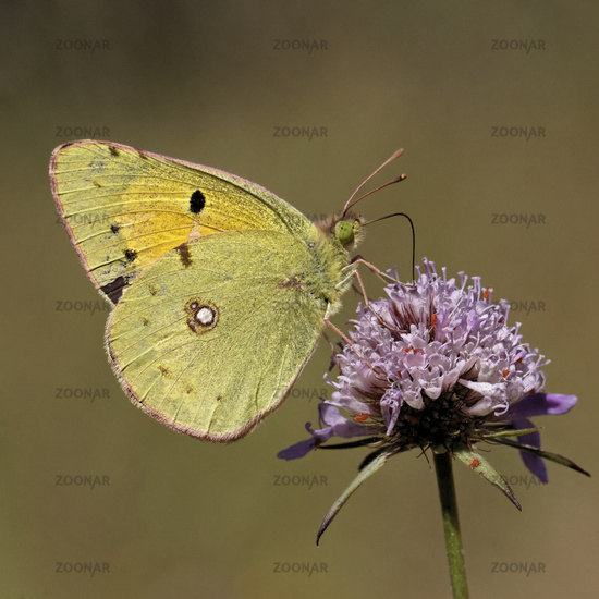 Colias crocea, Common Clouded Yellow on Scabious