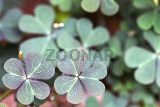 Horn-Sauerklee (Oxalis corniculata), Blätter