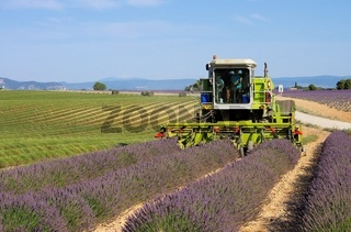 Lavendelfeld Ernte - lavender field harvest  21