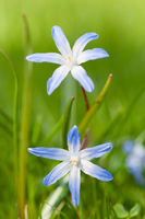 Chionodoxa (Glory-of-the-snow) in spring.