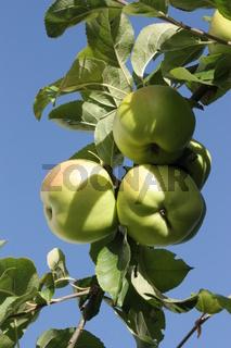 drei reife Äpfel am Baum