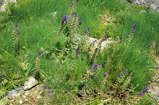 Muscari comosum, Schopfige Traubenhyacinthe, Grape-hyacinth