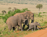 elephant's family