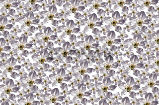 Hintergrund der weißen Blumen