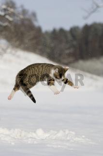 Katze spielend, springend im Schnee, Cat  playing, jumping in snow