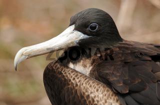 Weiblicher Fregattvogel