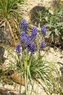 Muscari botryoides, Traubenhyazinthe, Grape-hyacinth