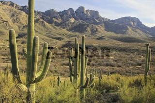 Saguaro cacti in Catalina State Park